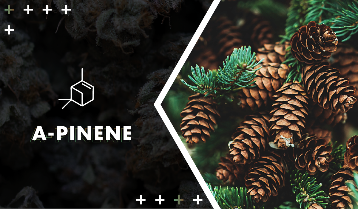 Pinene - Also found in coniferous trees, woodsy pinene promotes mental alertness. It's also thought to be the most common terpene in the natural world.