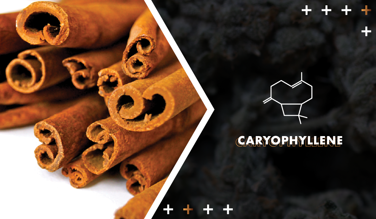 Beta-Caryophyllene - This peppery terpene also has the unique distinction of having cannabinoid properties. It's great for people with gastrointestinal upset.