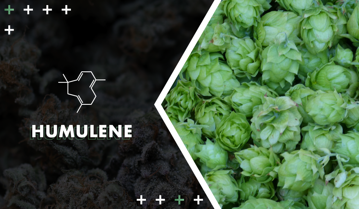 Humulene - If you've ever thought an IPA beer smelled dank in a familiar way, it's because humulene is also present in hops. This terpene is believed to have anti-inflammatory capabilities.