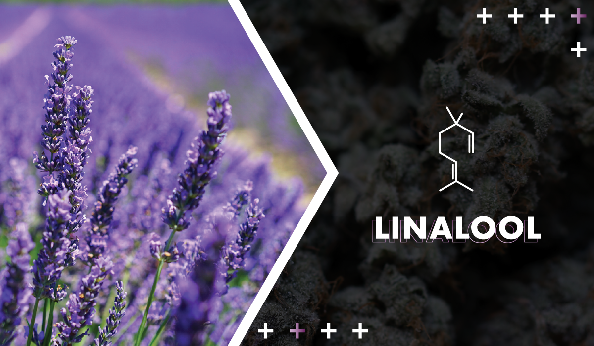 Linalool - Floral and pleasant, linalool is also found in lavender and is popular in aromatherapy. It's believed to be both calming and a neuroprotectant.