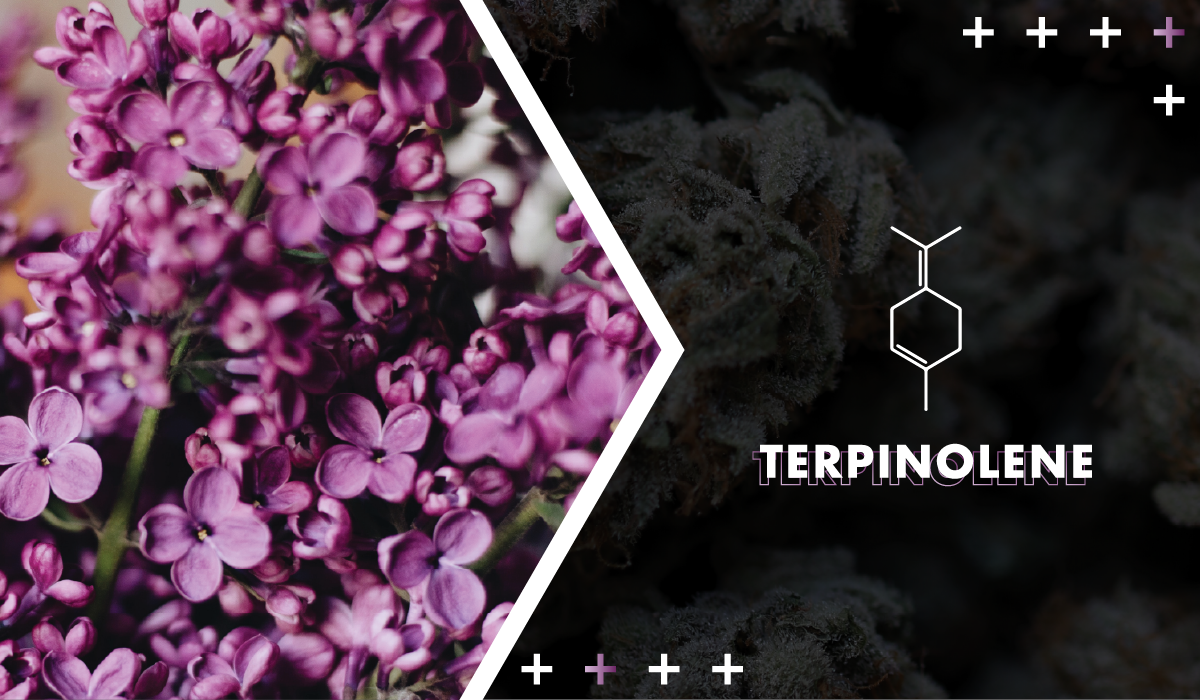"Terpinolene - Considered the ""least common"" of the prominent cannabis terpenes, herbal-scented terpinolene is relaxing and heady. It's highly sought after due to its powerful effects."